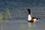 Family Waterfowl, Common Shelduck/Tadorna tadorna - Photographer: Frank Schulkes