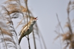 Family Warblers , Great Reed-warbler/Acrocephalus arundinaceus - Photographer: Frank Schulkes