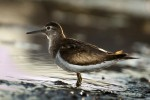Common Sandpiper/Actitis hypoleucos - Photographer: Евгений Даков
