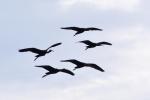 Glossy Ibis/Plegadis falcinellus - Photographer: Frank Schulkes