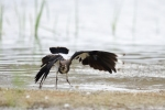 Northern Lapwing/Vanellus vanellus - Photographer: Frank Schulkes