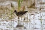 Family Sandpipers, Wood Sandpiper/Tringa glareola - Photographer: Frank Schulkes