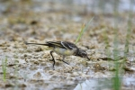 Family Pipits, Wagtails, Yellow Wagtail/Motacilla flava - Photographer: Frank Schulkes