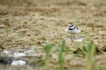 Family Plovers, Little Ringed Plover/Charadrius dubius - Photographer: Frank Schulkes