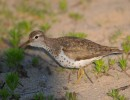 Family Sandpipers, Spotted Sandpiper/Actitis macularius - Photographer: Иван Петров