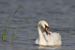 Mute Swan/Cygnus olor, Family Waterfowl