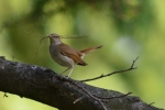 Family Thrushes, Common Nightingale/Luscinia megarhynchos - Photographer: Frank Schulkes