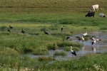White Stork/Ciconia ciconia, Family Storks