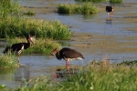 Black Stork/Ciconia nigra - Photographer: Frank Schulkes