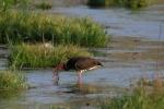 Black Stork/Ciconia nigra, Family Storks