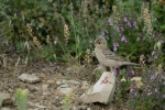 Family Pipits, Wagtails, Tawny Pipit/Anthus campestris - Photographer: Frank Schulkes