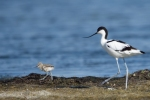 Family Stilts, Avocets, Pied Avocet/Recurvirostra avosetta - Photographer: Frank Schulkes