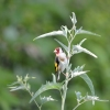 Family Finches, European Goldfinch/Carduelis carduelis