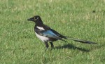 Black-billed Magpie/Pica pica - Photographer: Иван Петров