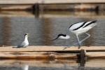 Little Tern/Sternula albifrons - Photographer: Frank Schulkes