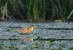 Squacco Heron/Ardeola ralloides - Photographer: Радослав Цветков