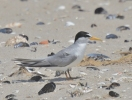 Little Tern/Sternula albifrons, Family Gulls, Terns