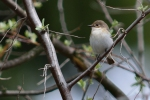 European Pied Flycatcher/Ficedula hypoleuca, Family Flycatchers