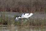 Pied Avocet/Recurvirostra avosetta, Family Stilts, Avocets