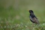 Common Starling/Sturnus vulgaris - Photographer: Frank Schulkes