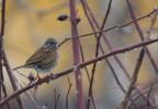 Hedge Accentor/Prunella modularis - Photographer: Теодора Койнова