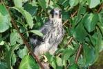 Eurasian Hobby/Falco subbuteo, Family Falcons