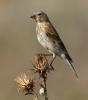 Eurasian Linnet/Carduelis cannabina, Family Finches