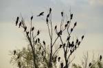Pygmy Cormorant/Phalacrocorax pygmeus, Family Cormorants
