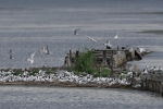 Family Gulls, Terns, Sandwich Tern/Sterna sandvicensis - Photographer: Frank Schulkes