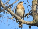 Fieldfare/Turdus pilaris, Family Thrushes