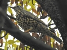 Mistle Thrush/Turdus viscivorus, Family Thrushes