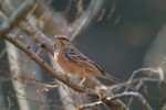 Family Buntings, Rock Bunting/Emberiza cia - Photographer: Емил Иванов