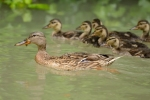 Family Waterfowl, Mallard/Anas platyrhynchos - Photographer: Емил Иванов