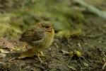 European Robin/Erithacus rubecula - Photographer: Емил Иванов