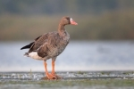 Family Waterfowl, Greater White-fronted Goose/Anser albifrons - Photographer: Емил Иванов