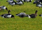 Family Waterfowl, Snow Goose/Chen caerulescens