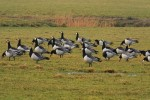 Family Waterfowl, Barnacle Goose/Branta leucopsis
