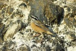 Family Buntings, Rock Bunting/Emberiza cia - Photographer: Светослав Спасов