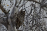 Family Owls, Long-eared Owl/Asio otus - Photographer: Лилия Василева