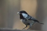Coal Tit/Periparus ater - Photographer: Лилия Василева
