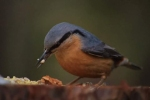 Wood Nuthatch/Sitta europaea - Photographer: Лилия Василева