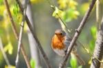 European Robin/Erithacus rubecula - Photographer: Лилия Василева