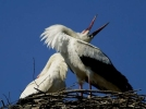 Family Storks, White Stork/Ciconia ciconia - Photographer: Лилия Василева