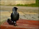 Eurasian Jackdaw/Corvus monedula, Family Crows