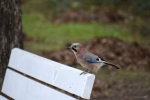 Eurasian Jay/Garrulus glandarius, Family Crows