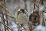 House Sparrow/Passer domesticus - Photographer: Лилия Василева