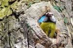 Blue Tit/Cyanistes caeruleus, Family Tits