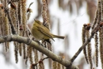 Common Chiffchaff/Phylloscopus collybita - Photographer: Лилия Василева