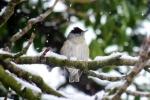 Blackcap/Sylvia atricapilla, Family Warblers