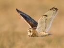 Short-eared Owl/Asio flammeus, Family Owls